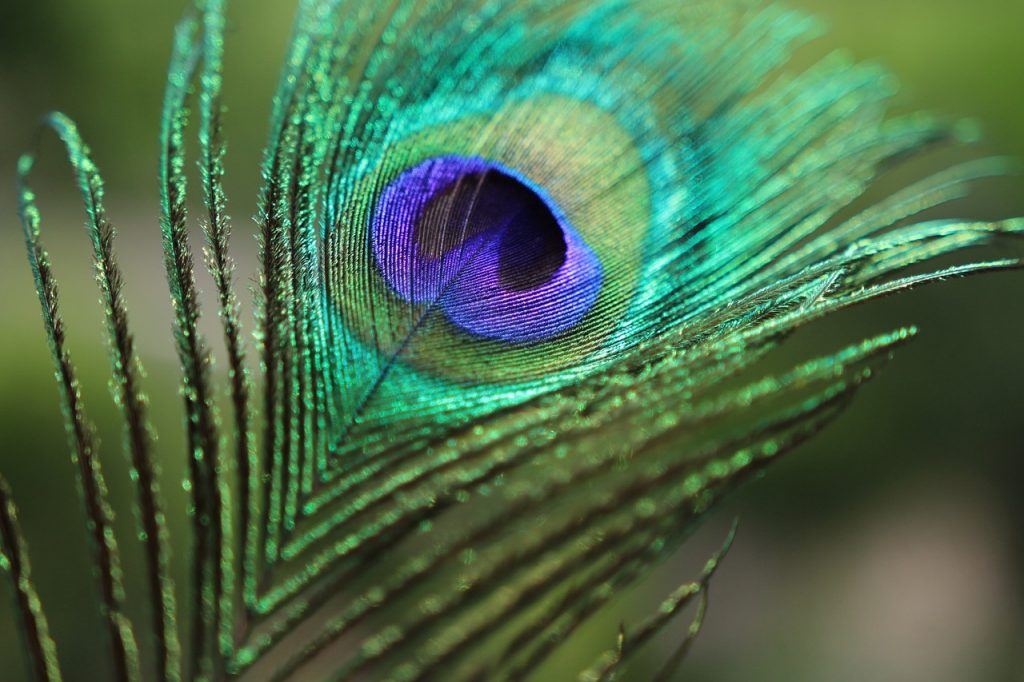 peacock feather with blured background