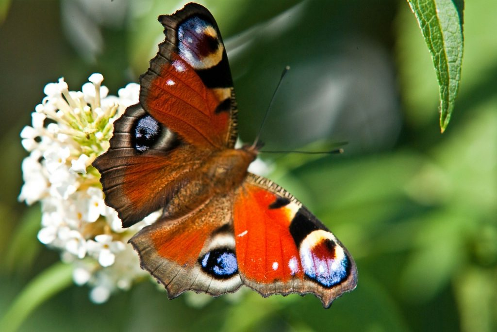 peacock-butterfly in green leaves