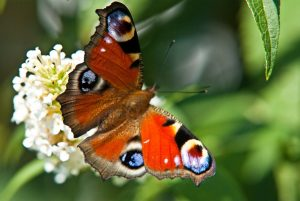 peacock-butterfly-216073_1280