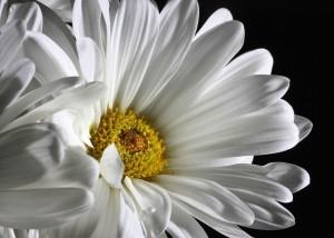 daisy-321217_640